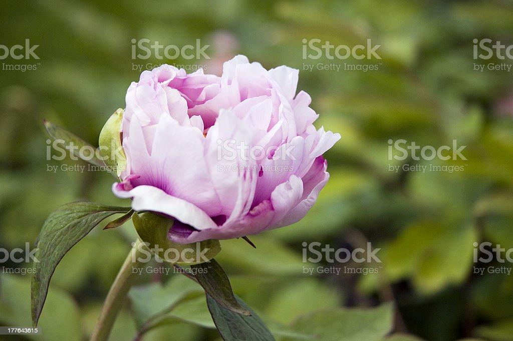 White-Pink Peony stock photo