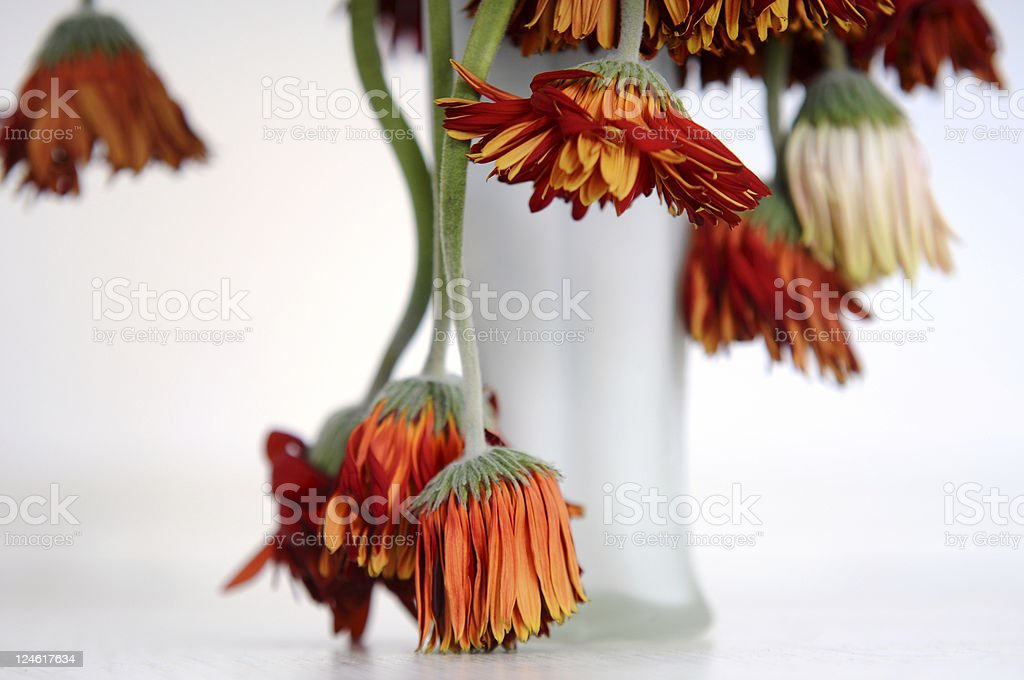 whitered gerberas royalty-free stock photo