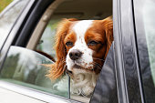 istock A white-red-haired dog looks out of an open car window 680200752