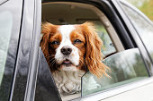 istock A white-red-haired dog looks out of an open car window 680200762