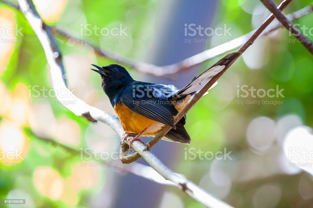 White-Rumped Shama - Honolulu stock photo