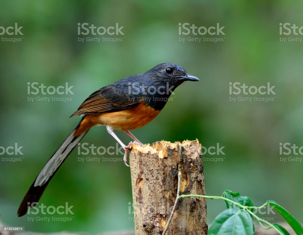 White-rumped shama (Copsychus malabaricus) the beautiful long ta stock photo