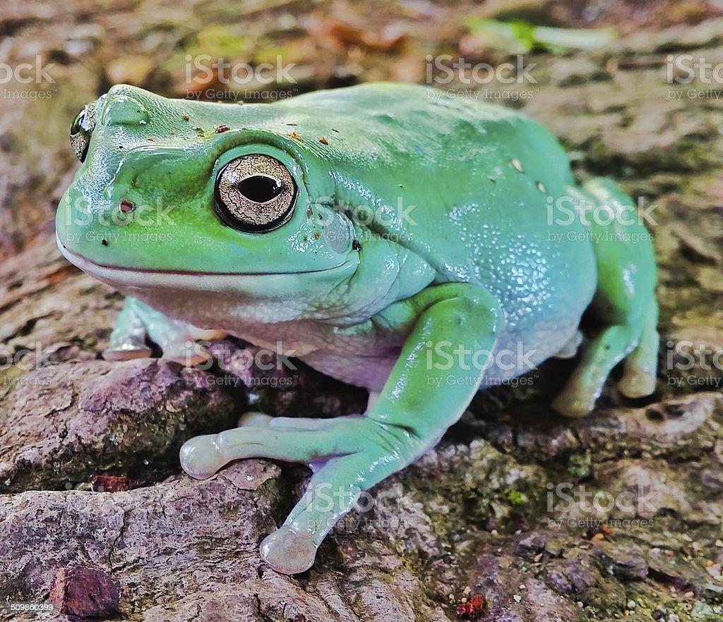 White's Dumpy Tree Frog stock photo