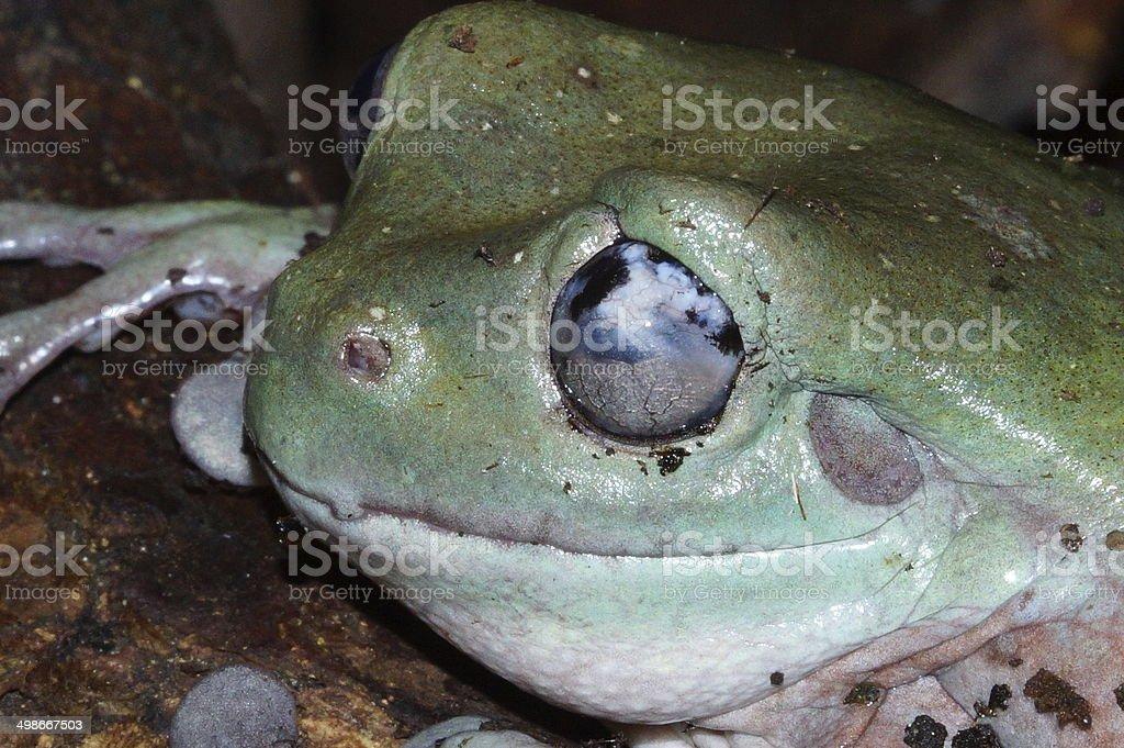 white's tree frog - eye disease stock photo