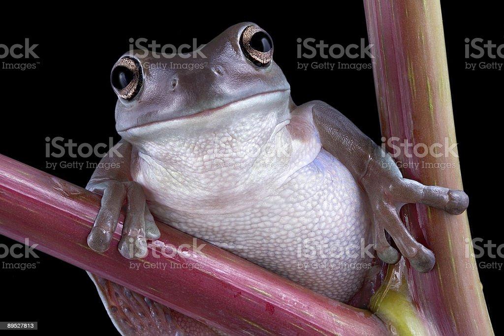White's tree frog on pokeweed royalty-free stock photo