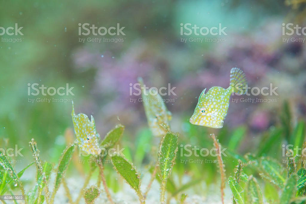 Whitespoted pygmy filefish stock photo