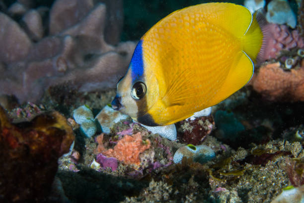 Whitespotted butterflyfish stock photo