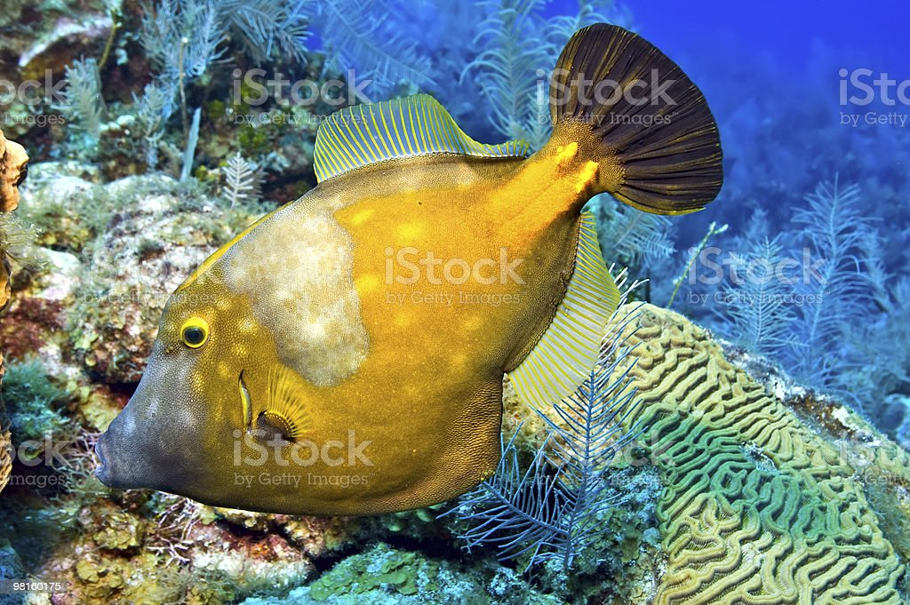 Whitespotted filefish royalty-free stock photo