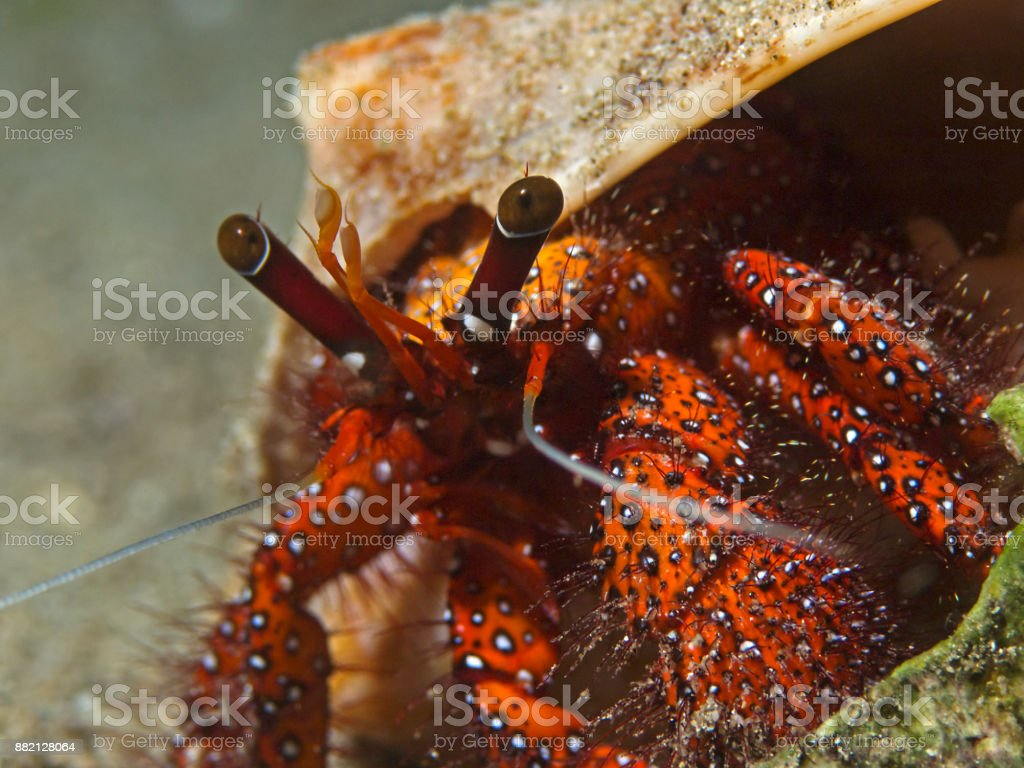 White-spotted hermit crab, Weisspunkt-Einsiedlerkrebs (Daranus megistos) stock photo