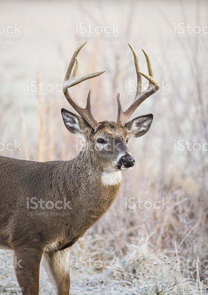 A whitetail buck deer in a field stock photo