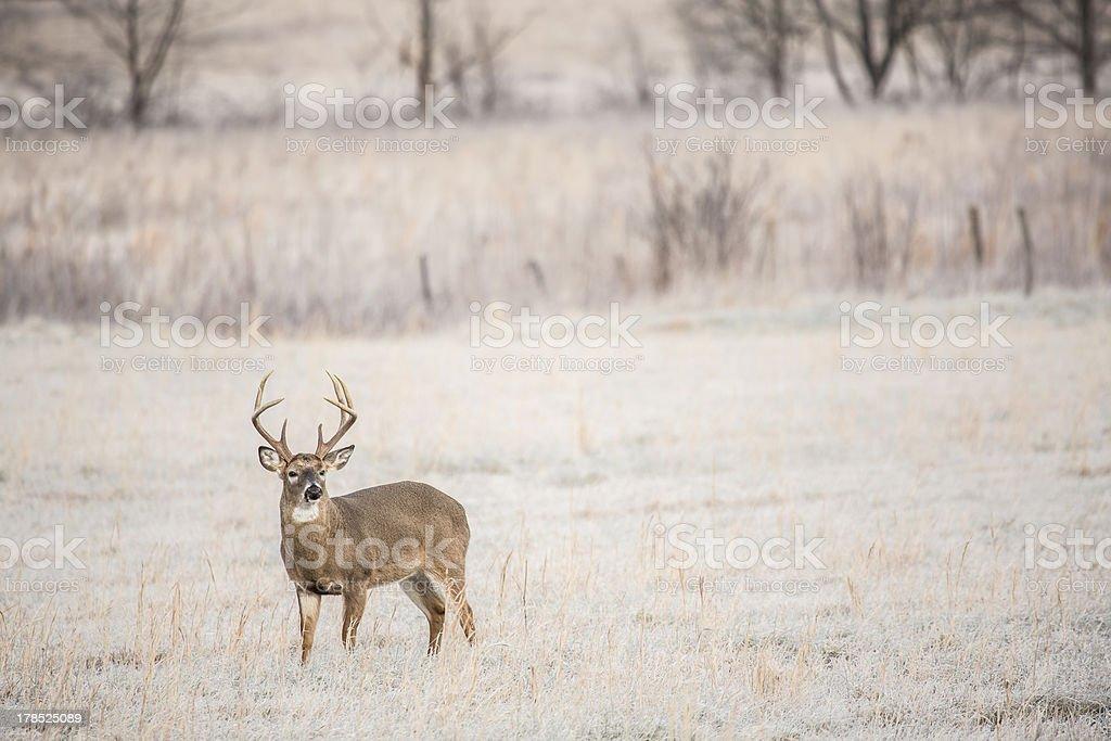 Whitetail Buck in a Frosty Field stock photo
