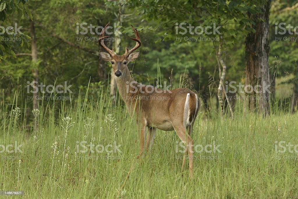 White-tail buck in summer stock photo