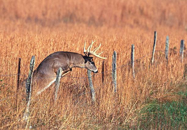 Barrière de saut de Buck Whitetail - Photo