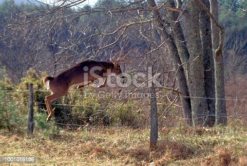 A male Whitetail Deer jumps over a fence at the edge of an old homestead in Tennessee.
