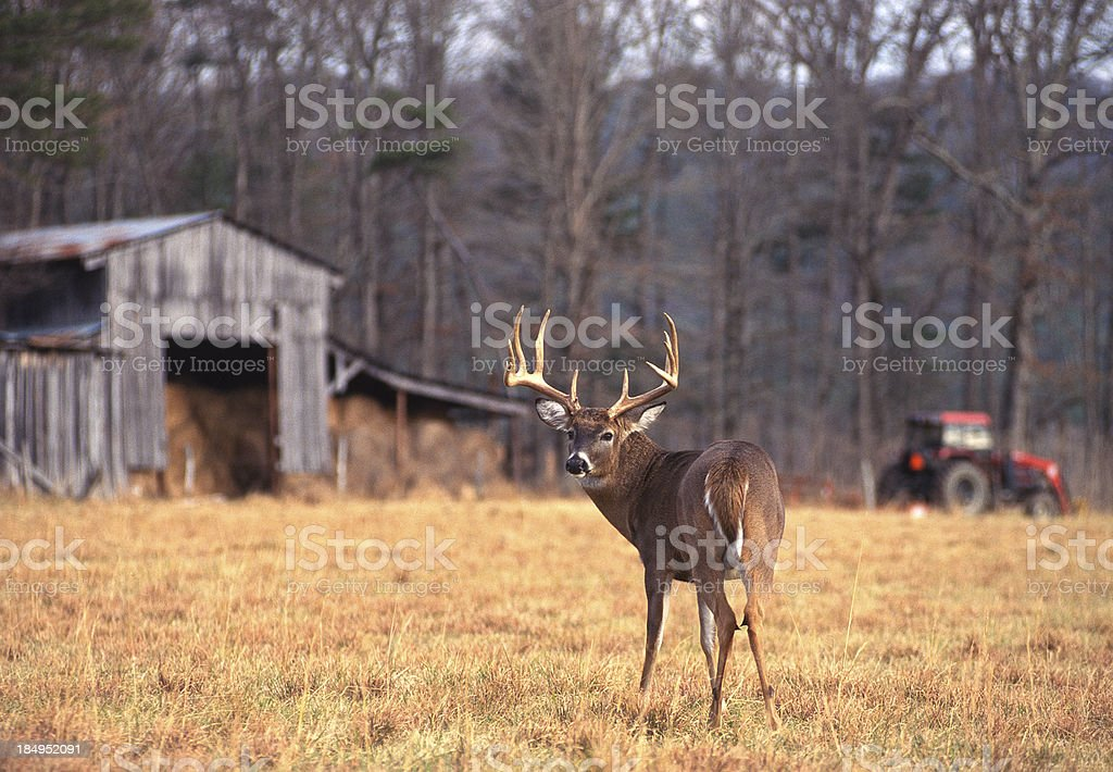 Whitetail Buck on Farm stock photo