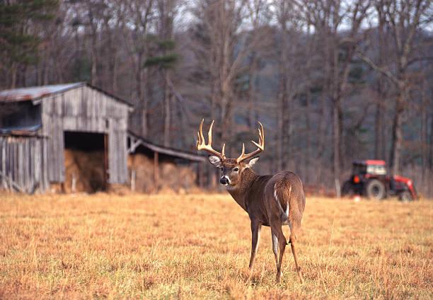 Ferme Buck le cerf de Virginie - Photo