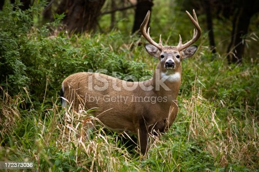 A whitetail buck in prime October condition.