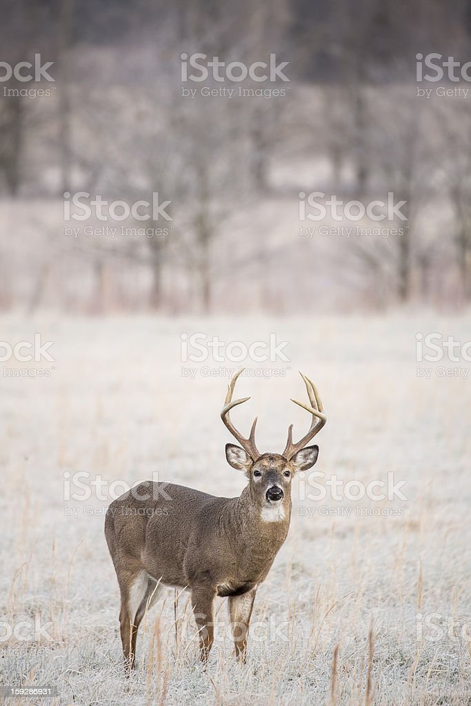Whitetail Buck Vertical royalty-free stock photo