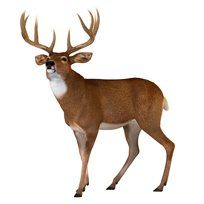 The Whitetail deer is a herbivorous ruminant mammal that lives in North and South America in herds.