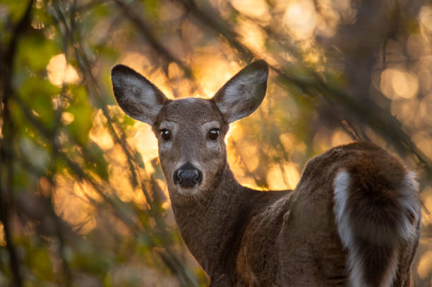 Whitetail Deer Ablaze A Whitetail Deer looks at the camera with a bunch of glowing leaves and trees from the glowing golden sun behind it. ablaze stock pictures, royalty-free photos & images