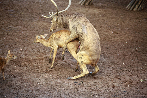 Whitetail Deer Buck and Doe breeding having sex mating stock photo