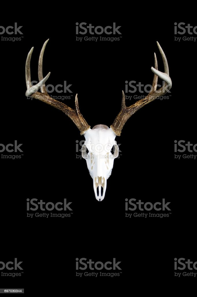 Whitetail Deer Buck Antlers and Skull stock photo