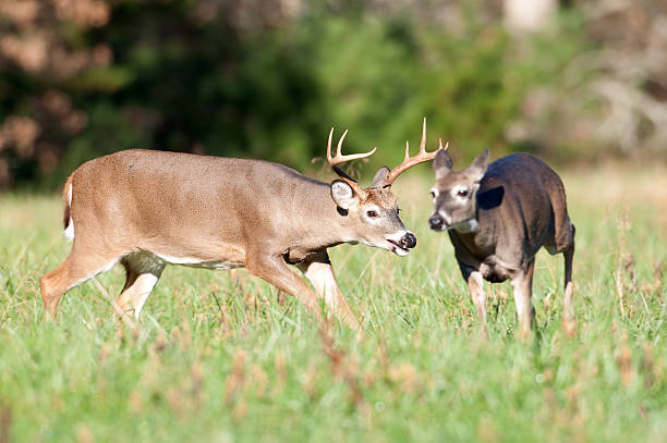 Whitetail deer buck chasing doe  rutting stock pictures, royalty-free photos & images
