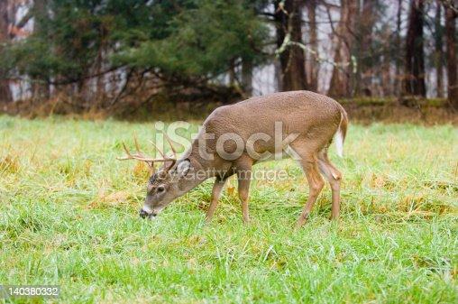 A whitetail deer buck grazes in a field in Tennessee