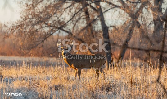 a whitetail deer buck in Colorado during the fall rut