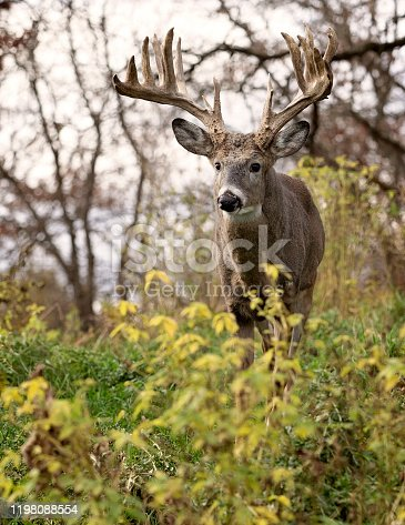 Whitetail deer buck in rut, alert in the forest.  Autumn in Wisconsin