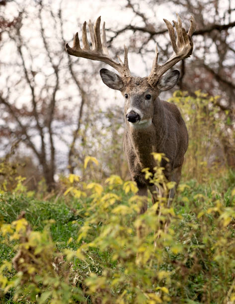 Whitetail deer buck in rut Whitetail deer buck in rut, alert in the forest.  Autumn in Wisconsin rutting stock pictures, royalty-free photos & images