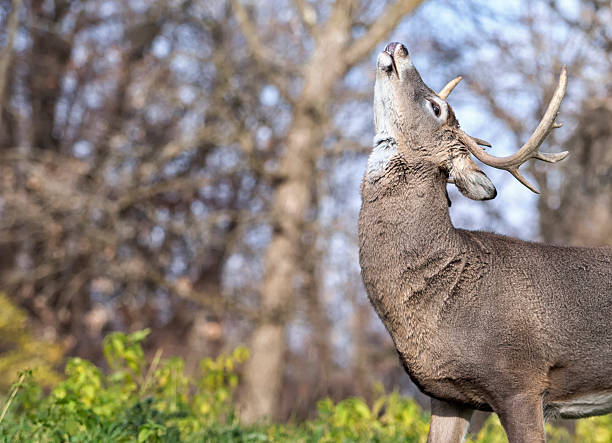 Whitetail deer buck in rut Whitetail deer buck in rut, showing a lip curl or flehmen response rutting stock pictures, royalty-free photos & images