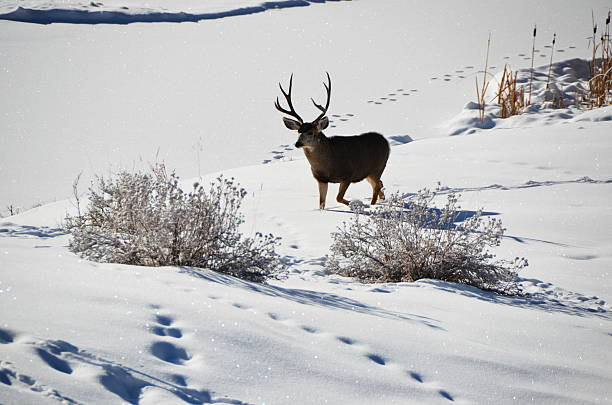 Whitetail deer buck in the snow stock photo