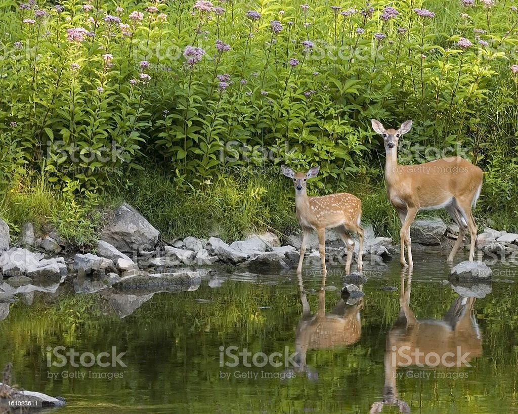 Whitetail Deer  Doe And Fawn (Odocoileus virginianus) royalty-free stock photo