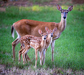 Whitetail doe and two fawns in a field in north Arkansas, USA.