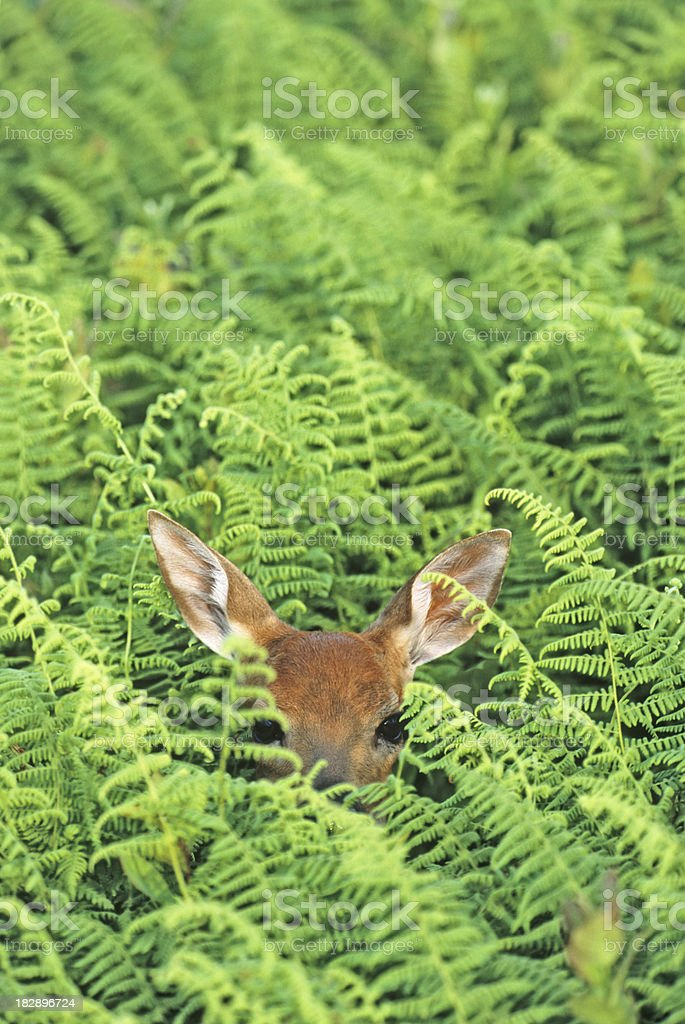 White-tail deer, fawn hiding in the tall ferns stock photo