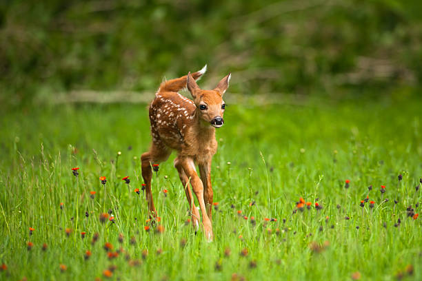 Whitetail deer fawn in field of indian paintbrush flowers. stock photo