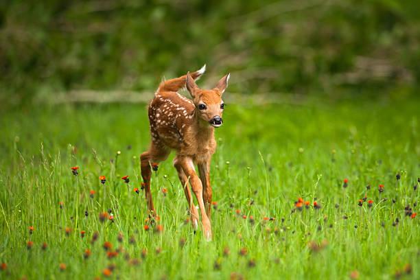 cerf de virginie cerf fauve dans le champ de castilléjie de fleurs. - faon photos et images de collection