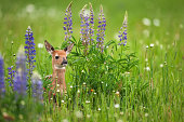 """Very young fawn whitetail-deer (Odocoileus virginianus) in springtime flowers. This little guy was only about 1.5 ft tall, and tough to keep in focus as he moved very quickly."""