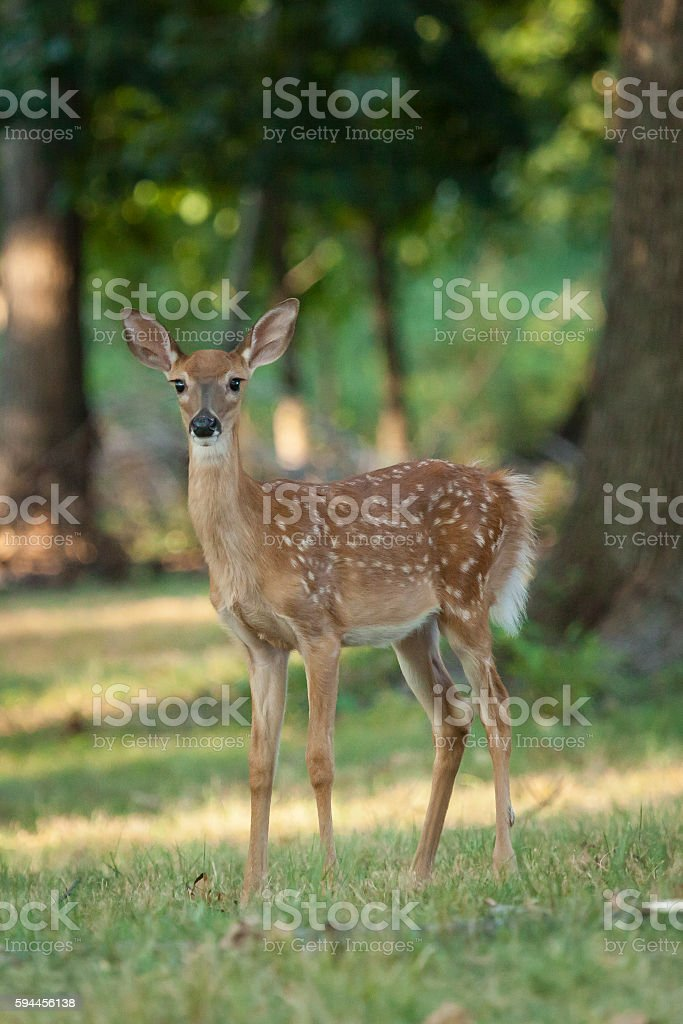 Whitetail Deer Fawn stock photo