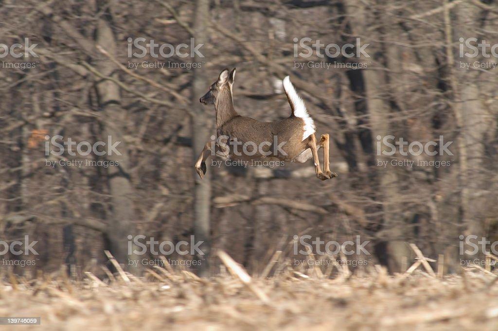 Whitetail Deer Female royalty-free stock photo