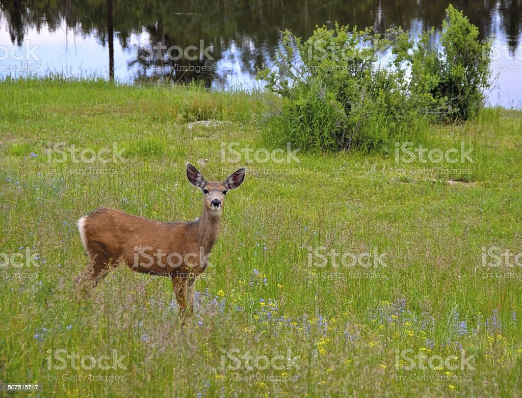 Whitetail deer in meadow of wildflowers stock photo