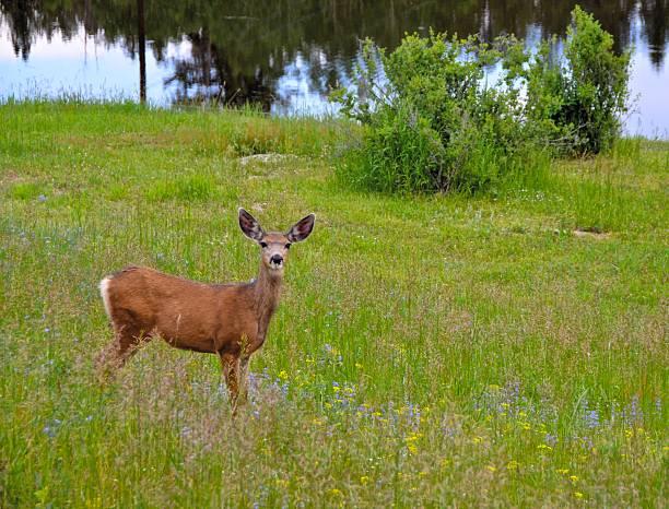 Whitetail deer in meadow of wildflowers stock photo