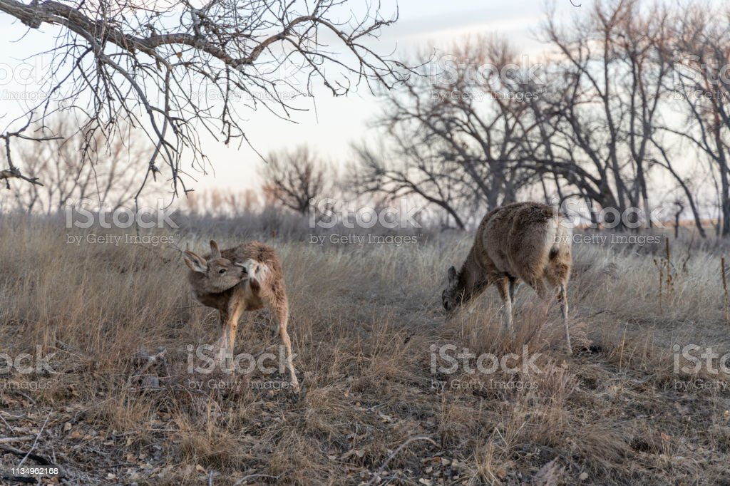 Whitetail deer in the Rocky Mountain Arsenal Wildlife Refuge. stock photo