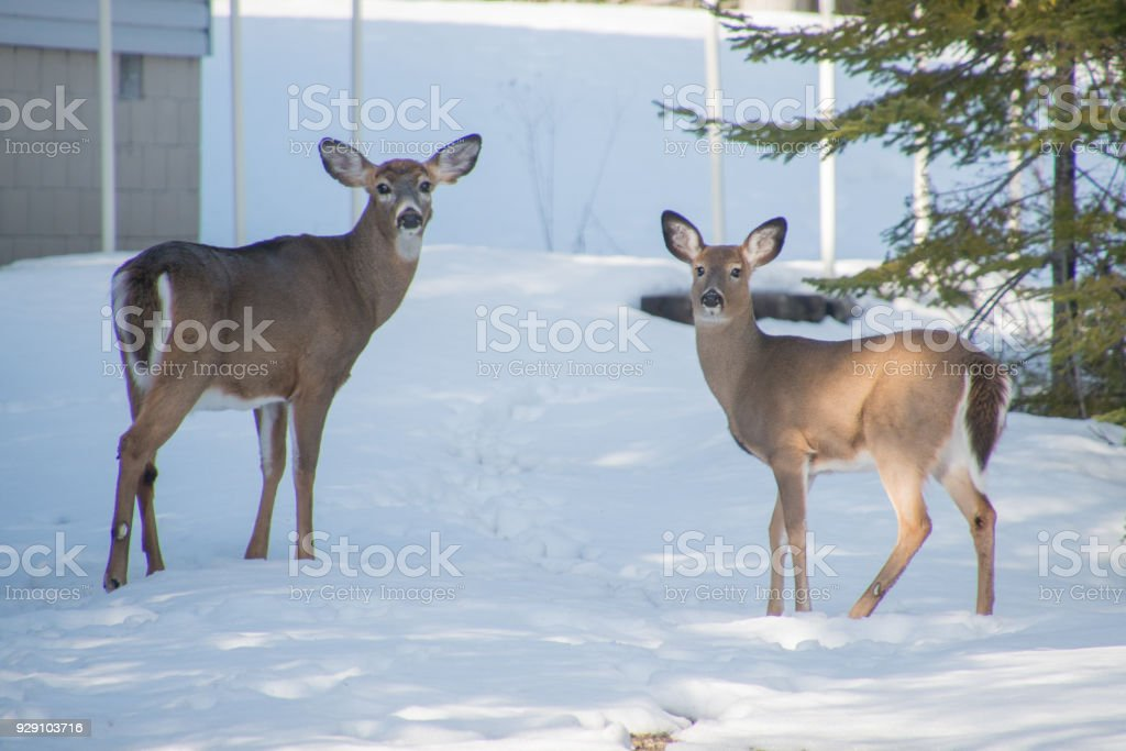 Whitetail Deer In The Snow In Winter In Ontario Canada Stock Photo