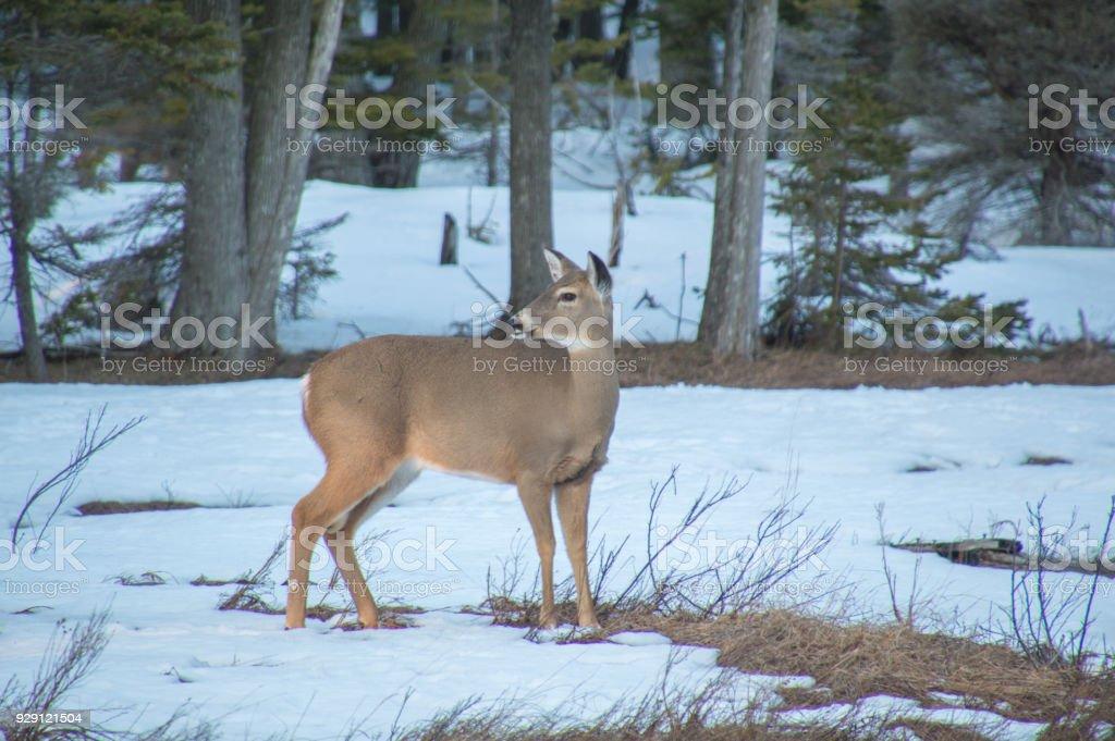 Fotografía de Venado En La Nieve En Invierno En Ontario Canadá y más ...