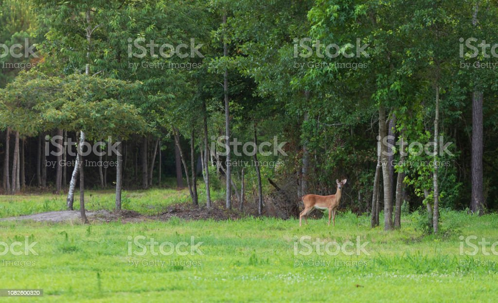 Whitetail Rotwild in den Bäumen in der Nähe von Raeford North Carolina – Foto
