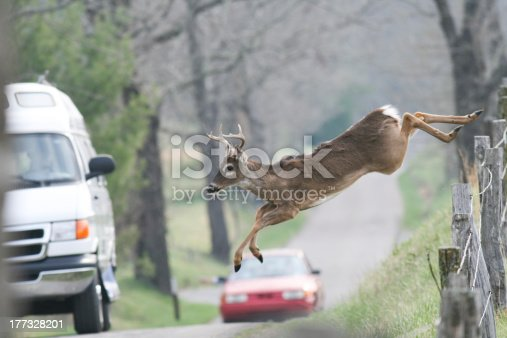 Whitetail buck deer jumping fence in frount of vehicles cars
