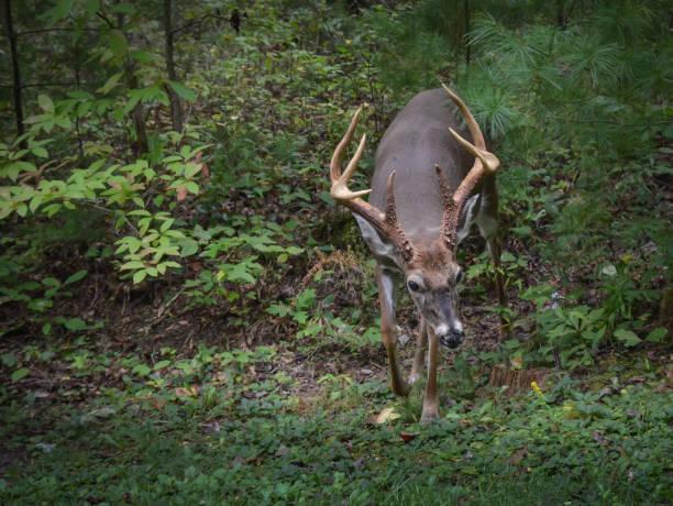 whitetail deer, reifen bock mit großen geweih in outdoor-wäldern. - wilde hilde stock-fotos und bilder