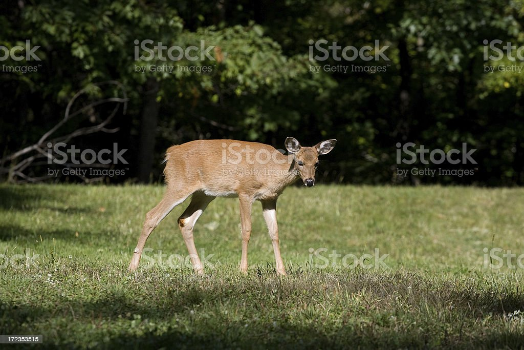 whitetail Deer royalty-free stock photo